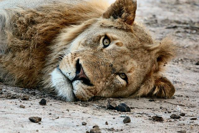 Africa, Animal, Animal Photography, Close-up, Lion