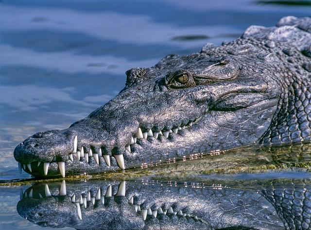 Alligator, Animal, Animal Photography, Close-up