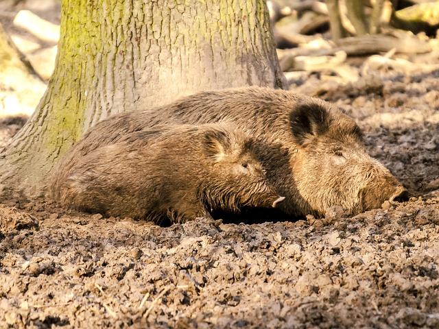 Boar, Pig, Mammal, Animal, Nature