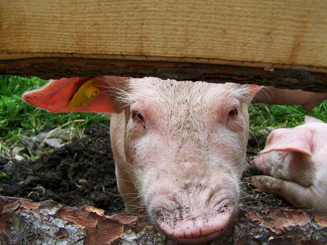 Piggy, Pig, Animal