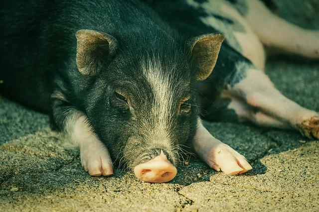 Pot Bellied Pig, Pig, Piglet, Animal, Young Animal