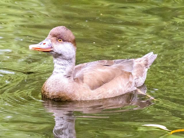 Piston Duck, Duck, Bird, Water Bird, Nature, Animal