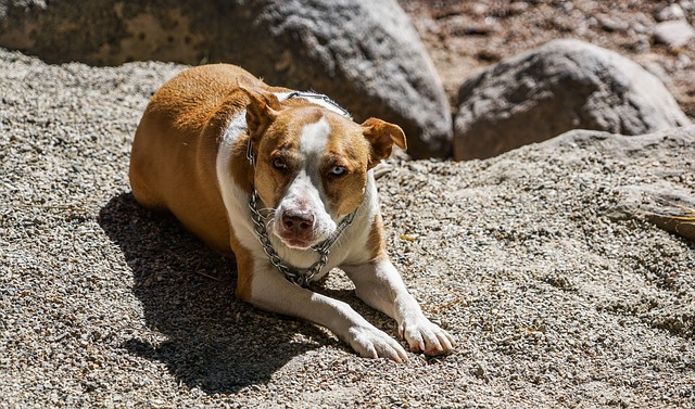 Dog, Canine, Breed, Pit Bull, Cute, Young, Animal