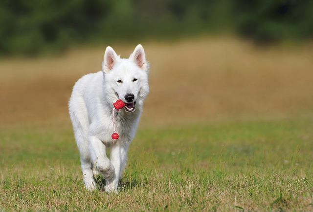 Swiss Shepherd Dog, Dog, White, Animal, Play, Pet