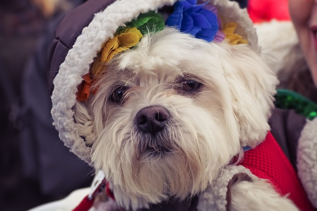 Dog, Animal, Pet, Cute, Animal Portrait, Dressed Up