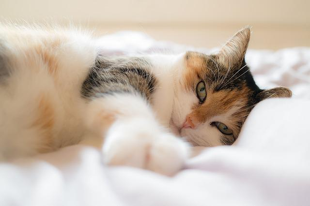 Cat, Animal Portrait, Domestic Cat, Lucky Cat, Bed
