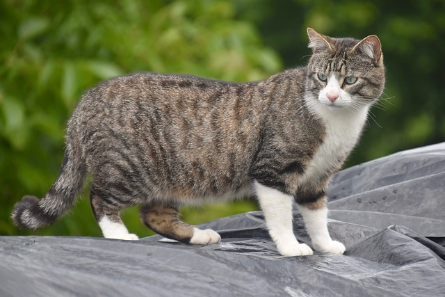 Cat, Feline, Animal Portrait, Alley Cat, European Cat