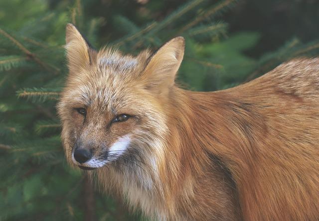Fuchs, Animal World, Wild Animal, Animal Portrait