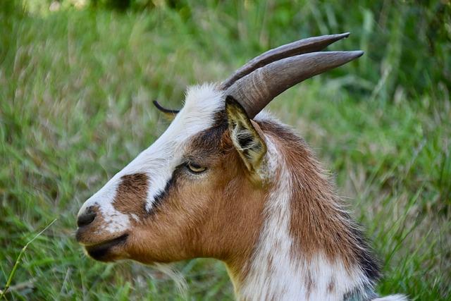 Goat, Goat Horns, Animal Portrait, Ruminants