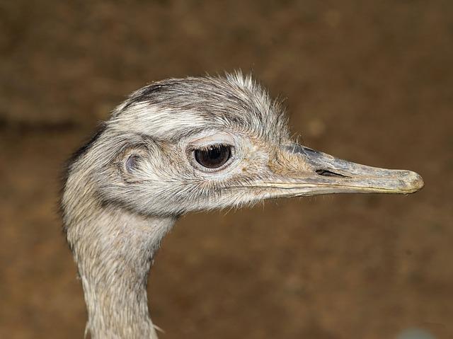 Rhea Bird, Flightless Bird, Portrait, Animal Portrait