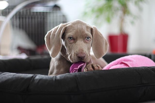 Weimaraner, Puppy, Dog, Snout, Animal Portrait, Towel