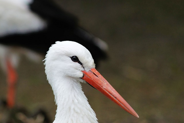 Stork, Bird, Animal Portrait, Large Beak, White Stork