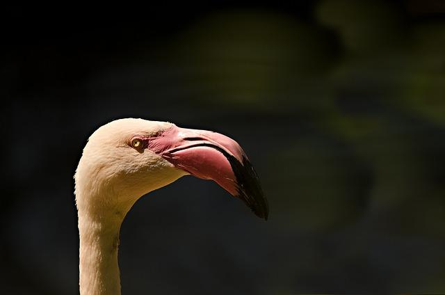 Flamingo, Animal Portrait, Bird, Water Bird, Bird Head