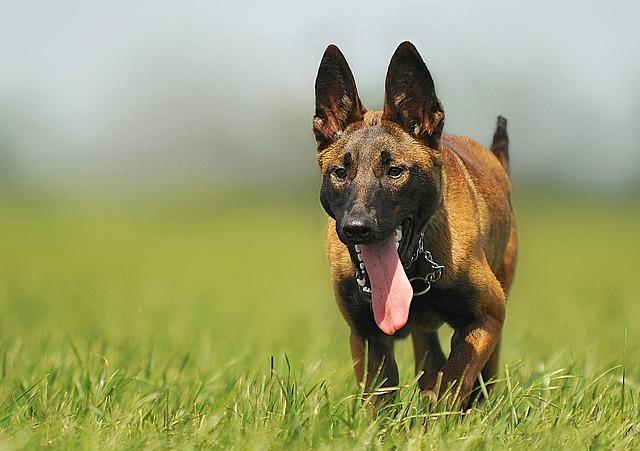 Malinois, Dog, Animal, Animal Portrait, Young Dog, Pet
