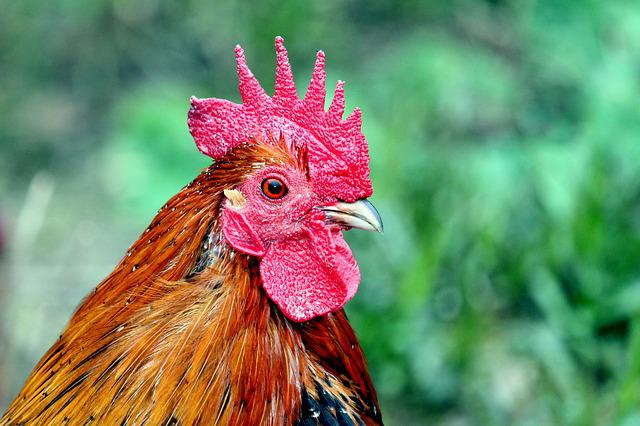 Hahn, Pride, Nature, Bird, Feather, Animal, Poultry