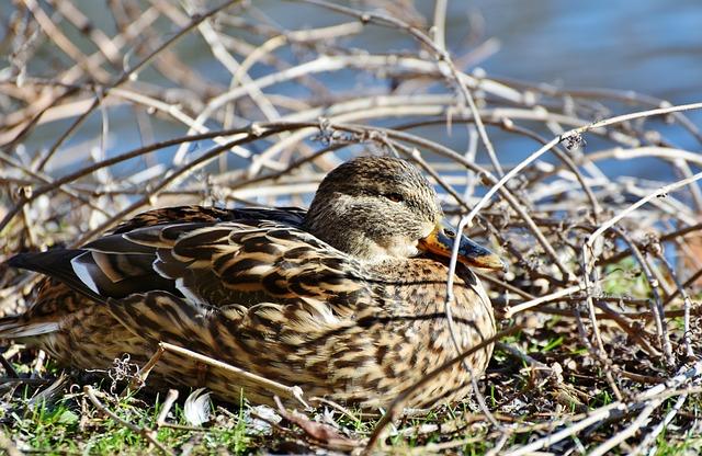 Ducks, Waterfowl, Mallard, Bird, Poultry, Animal, Drake