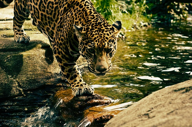 Leopard, Predator, Wildcat, Animal, Wildlife, Nature