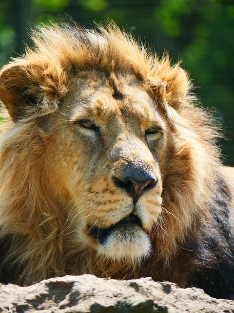 Lion, Big Cat, Animal, Wildlife, Wild, Mammal, Predator