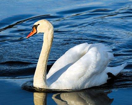 Swan, Water Bird, Animal, Pride, White Swan