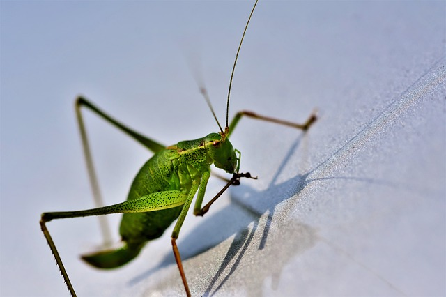 Grasshopper, Viridissima, Skip, Insect, Animal, Probe