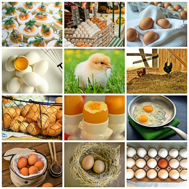 Collage, Egg, Chicken, Chicks, Nest, Animal Product