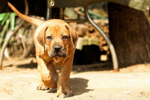 Boerboel, Peanut Bulldog, Dog, Puppy, Mastiff, Animal