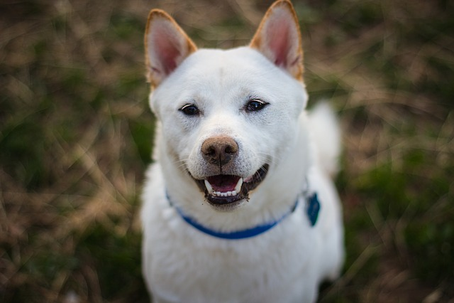 Shiba Inu, Dog, Puppy, Animal, Shiba, Inu, Canine