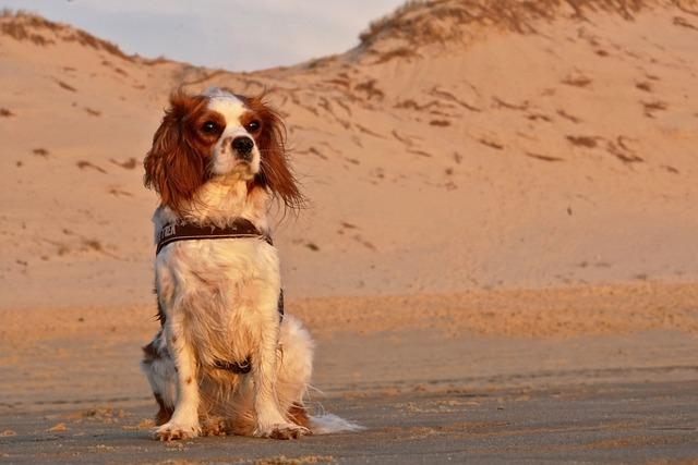 Dog, Cavalier King Charles, Cute, Animal, Purebred Dog