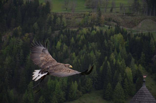 Eagle, Bird, Flying, Bird Of Prey, Raptor, Animal