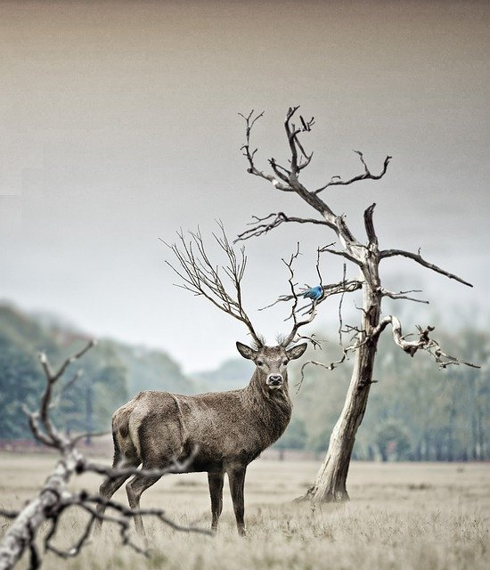 Deer, Nature, Animal, Wild, Red Deer, Animal Portrait