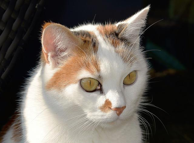 Cat, Animal, White, Pet, Cat's Eyes, Relaxed