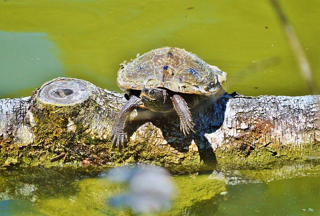 Turtle, Water Turtle, Reptile, Tortoise Shell, Animal