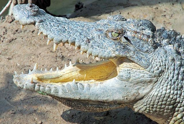 Vietnam, Crocodile, Reptiles, Animal, Animal World
