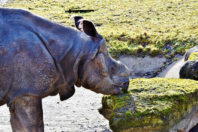 Rhino, Horn, Animal, Mammal, Big Game, Zoo