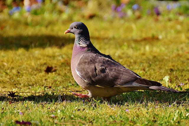 Ringdove, Bird, Plumage, Dove, Nature, Animal