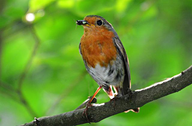 Robin, Song Bird, Animal, Feather, Plumage, Beak