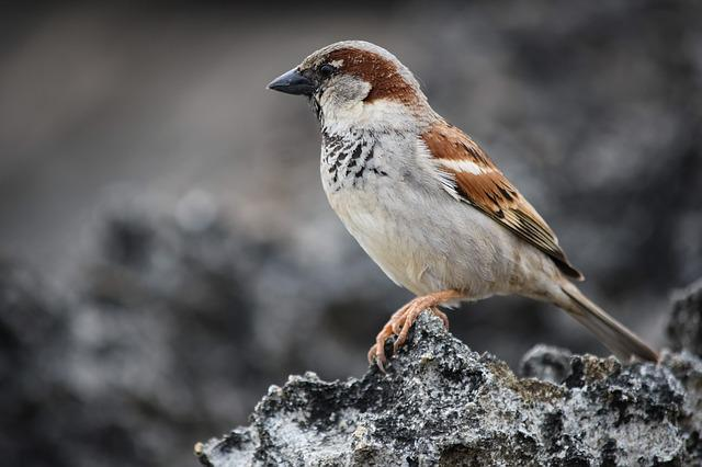 Sparrow, Wildlife, Nature, Bird, Animal, Rock