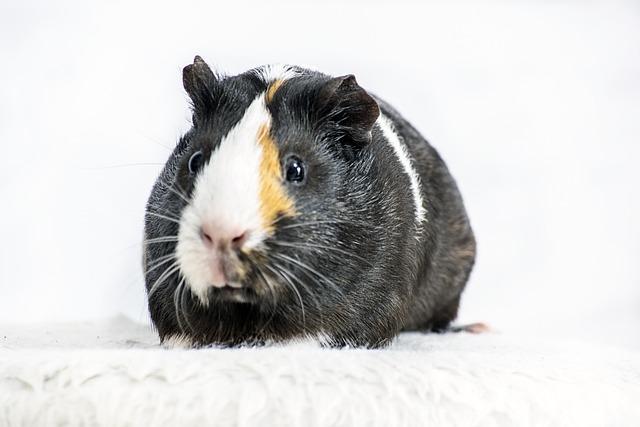Animal, Guinea Pig, Pet, Rodent