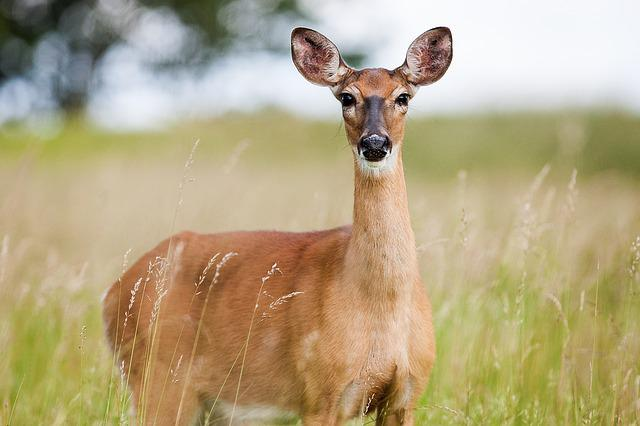 Roe Deer, Capreolus Capreolus, Animal, Nature, Cute