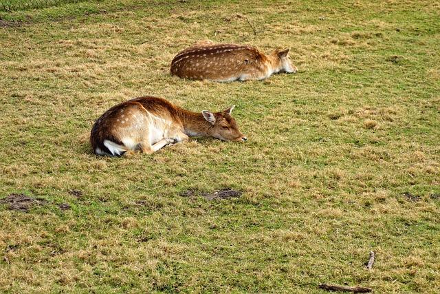 Roe Deer, Fawn, Roe Deer Fawn, Animal, Young Animal