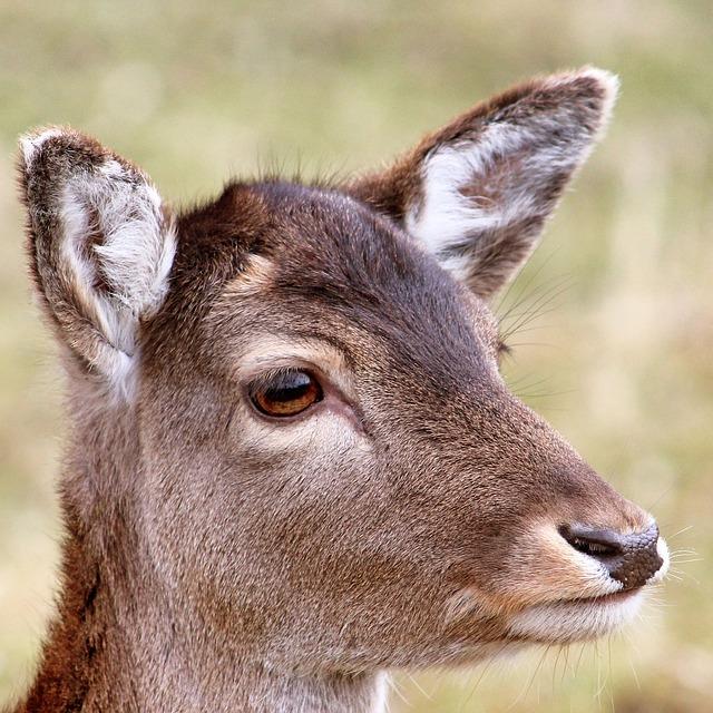 Roe Deer, Forest, Wild, Nature, Animal, Scheu