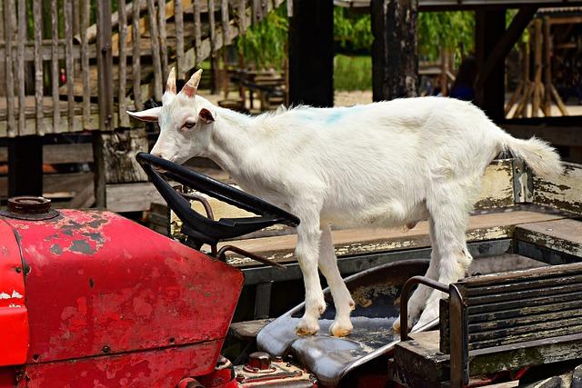 Goat, Animal, Mammal, Even-toed, Ruminant, Livestock