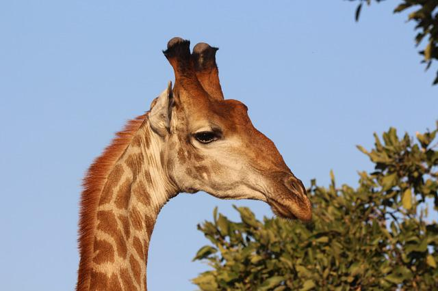 Giraffe, Africa, Kruger, Wild, Wildlife, Animal, Safari