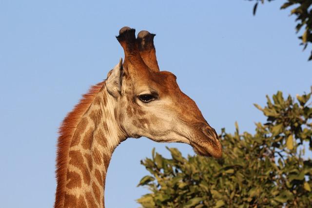 Giraffe, Africa, Kruger, Wild, Wildlife, Animal, Safari
