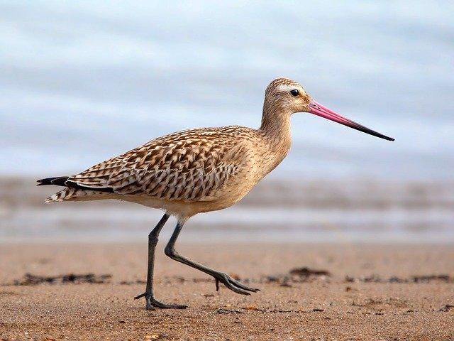 Bird, Sandpiper, Beach, Shore, Sand, Animal