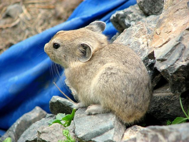 Sardinian Pika, Rodent, Mongolia, Word, Animal, Nature