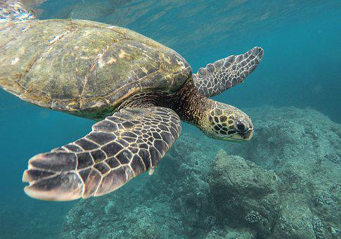 Animal, Coral Reef, Ocean, Sea, Swimming, Tortoise