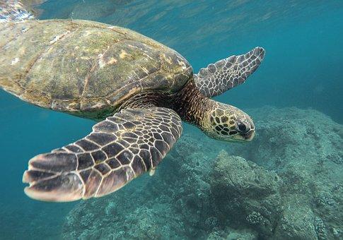 Animal, Coral Reef, Ocean, Sea, Swimming, Tortoise