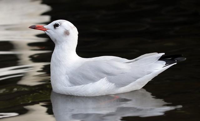 Seagull, Bird, Water Bird, Seevogel, Animal, Water, Sea