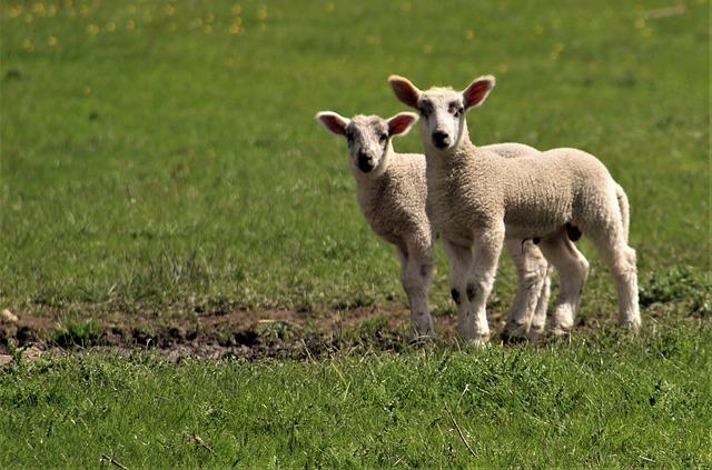 Grass, Mammal, Sheep, Hayfield, Animal, Baby Sheep